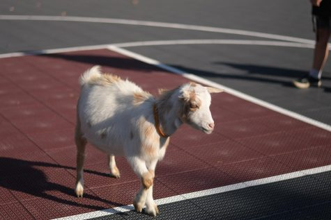 Aidan StromdahlGoats of many sizes and colors showed up to help the students destress and get in some good stretches.